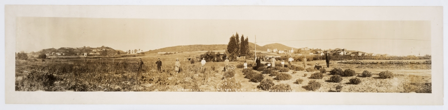 1928 panoramic photograph of Hollywood flower fields