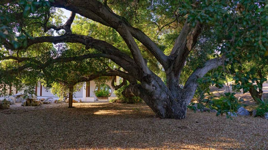 The design of the garden's new features respects the existing landscape and safeguards mature trees like this coast live oak, Quercus agrifolia, estimated to be at least 300 years old. Photo by Aric Allen. The Huntington Library, Art Museum, and Botanical Gardens.