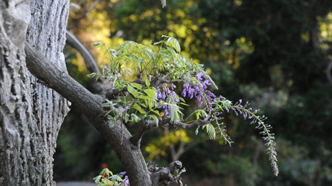 Wisteria in the Japanese Garden