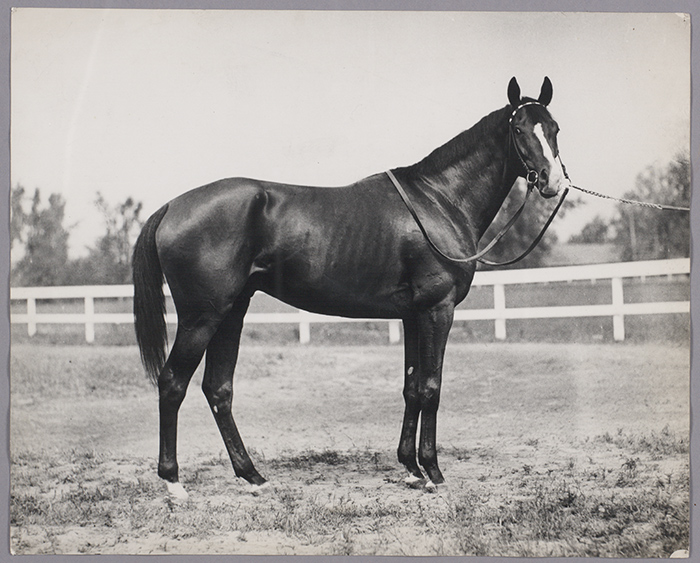 If California Chrome wins this weekend, he will become the 12th horse to win the Triple Crown. Above is Gallant Fox, Triple Crown winner from 1930. From William Woodward, Gallant Fox: A Memoir (New York: Privately printed, 1931).