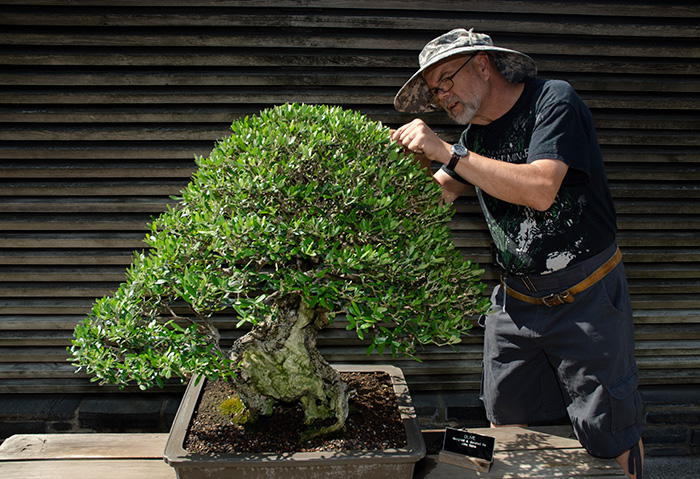 "Ted Matson, The Huntington's resident bonsai expert, grooms an olive tree designed by the late John Naka. The art of bonsai, says Matson, is like ""sculpture with living plant material."" Photo by Lisa Blackburn."