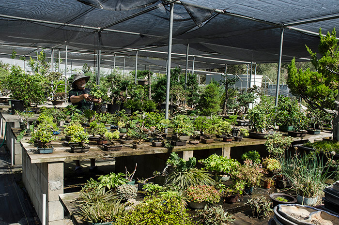 The quality of the bonsai collections at The Huntington appeals to prospective donors, who know their trees will be well cared for. In the nursery area, Matson checks on a group of donated shohin bonsai (trees less than 8 inches tall). Photo by Lisa Blackburn.
