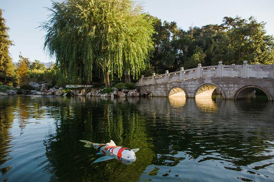 "Nina Katchadourian's ""Strange Creature"" swims in the Lake of Reflected Fragrance in The Huntington's Chinese Garden, Liu Fang Yuan 流芳園. Photo by Gina Clyne."
