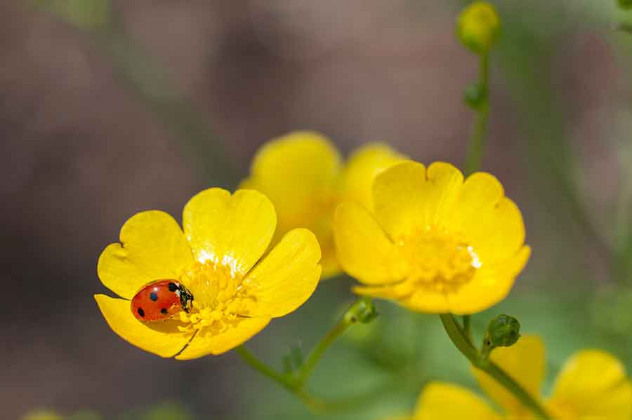 Yearning for closeness after months of social distancing? Nature photography is the perfect antidote to the six-foot rule. The gardens abound with photogenic subjects that beckon visitors to get close. Pictured: An industrious ladybug helps pollinate a sunny yellow buttercup. Photo by Martha Benedict.