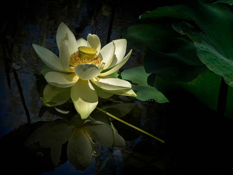 In the Chinese Garden, a lotus flower (Nelumbo nucifera 'Giant Sunburst') catches the sunlight and appears to glow from within. Photo by Andy Sae.