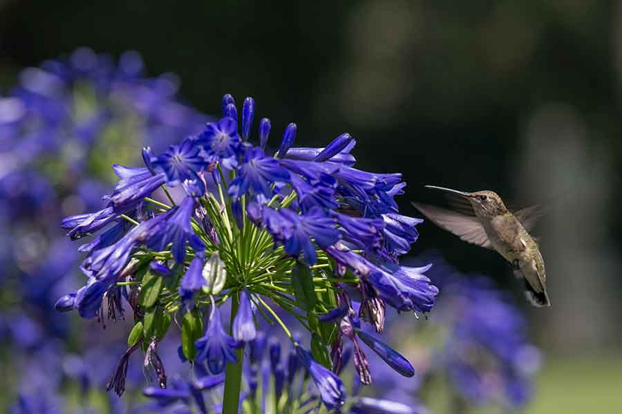 A female Anna's hummingbird (Calypte anna) hovers next to a cluster of brilliant blue Agapanthus 'Ellamae' blooms near the North Vista. Photo by Martha Benedict.