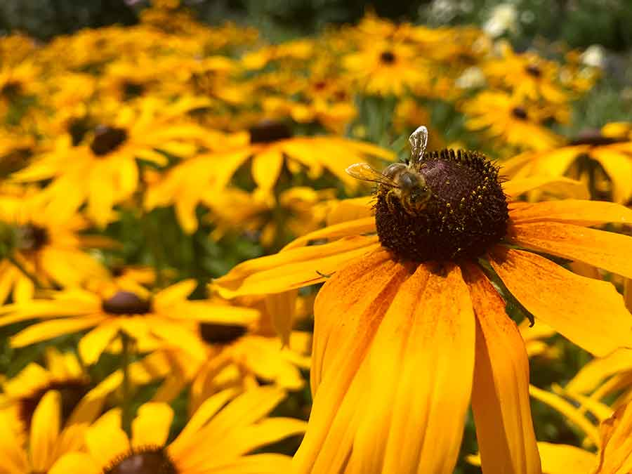 Color, texture, and shape are some of the elements that make a great photo, as seen in this iPhone portrait of black-eyed Susan blooms (Rudbeckia 'Chestnut Gold') in the Shakespeare Garden. Give yourself some bonus points if you capture a bee or a butterfly at the same time. Photo by Kelly Fernandez.