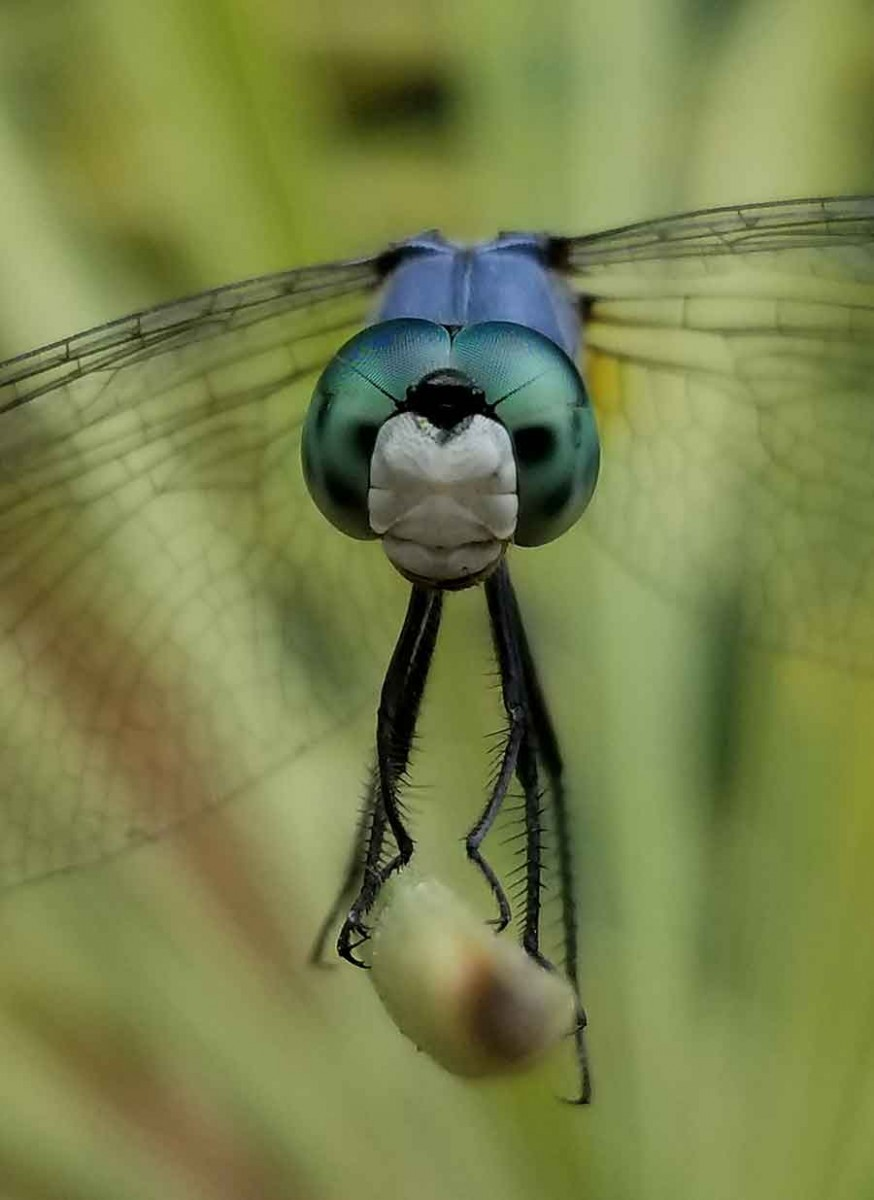 Yes, believe it or not, this dragonfly's portrait was snapped with an Android cell phone camera, without the use of a stabilizer or special lens. The insect's uncharacteristic willingness to hold a pose helped insure a sharp focus. Photo by Karen Zimmerman.