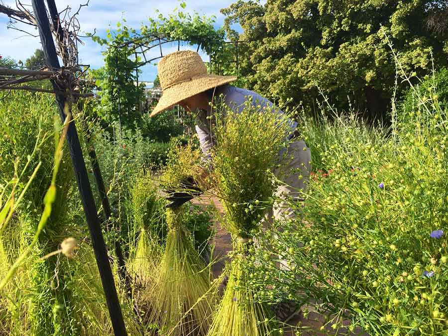 Kelly Fernandez, head gardener of the Herb Garden and the Shakespeare Garden, harvests bundles of flax from The Huntington's Herb Garden. Photo courtesy of Kelly Fernandez.