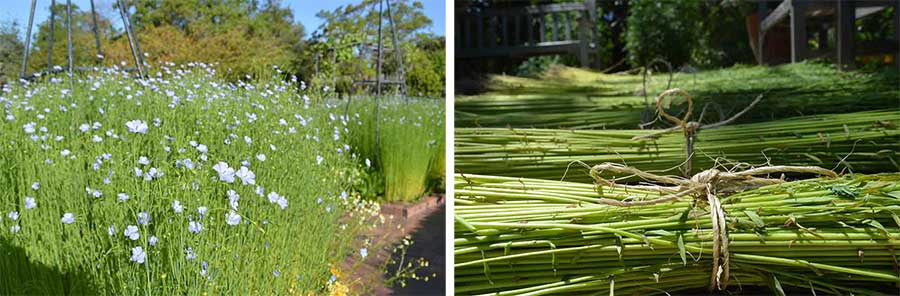 Left: Flax in bloom earlier this year in The Huntington's Herb Garden. Right: Flax bundles harvested and tied for drying. Photos by Kelly Fernandez.