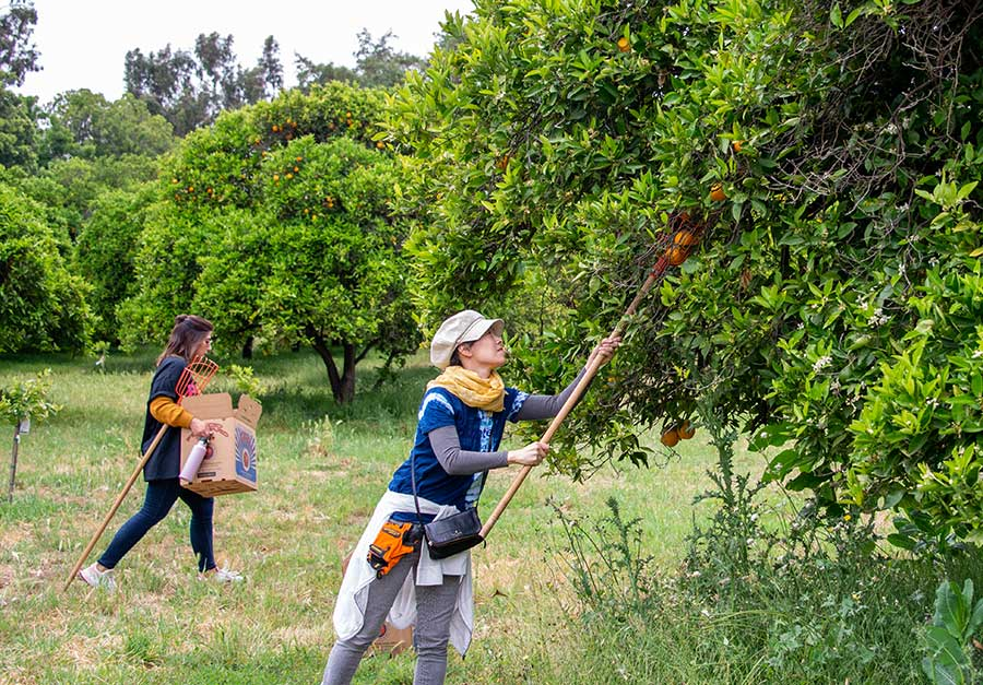 Volunteers in The Huntington's orange orchard use pole pickers to reach fruit growing in the treetops. Photo by Deborah Miller.