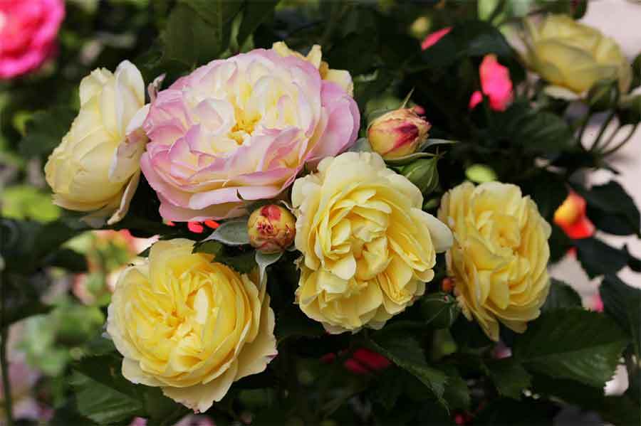 'Huntington's 100th', the newly hybridized rose chosen to help celebrate The Huntington's centennial year, is a large-flowered, multi-colored rose with an intense fragrance. Photo courtesy of Gene Sasse.