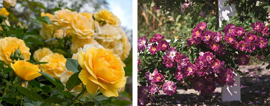 The yellow, licorice-scented 'Julia Child'rose is mother to'Huntington's 100th'; the French rose 'Stormy Weather' is the father. 'Julia Child' photo by Deborah Miller. 'Stormy Weather' photo by Gene Sasse.