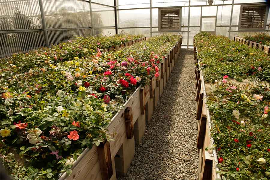 "Large beds of ""mother"" roses waiting to be pollenated at a greenhouse at Weeks Roses. Photo by Gene Sasse."