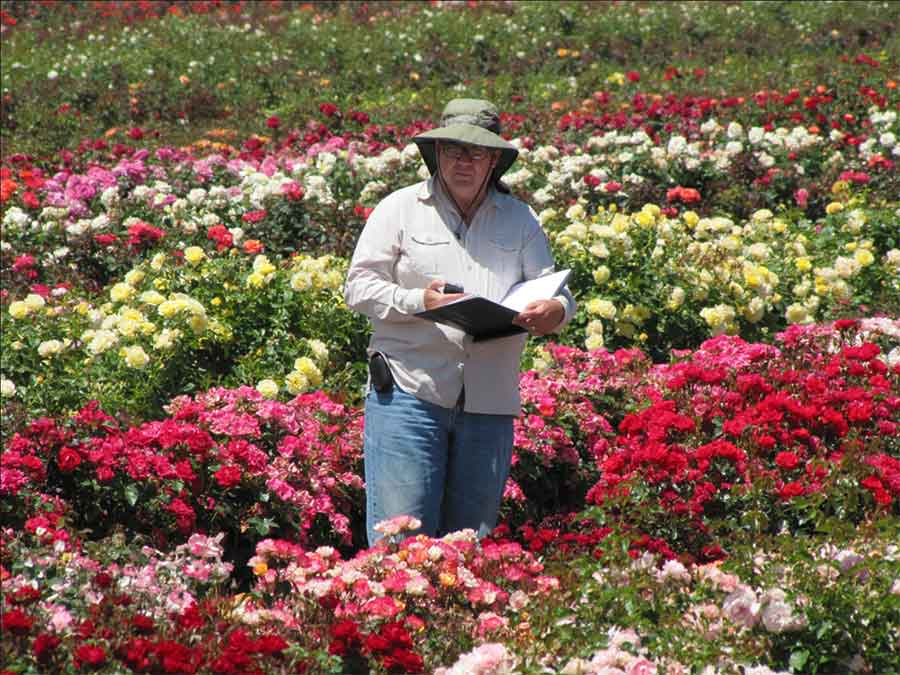 Tom Carruth, in the field, evaluating new rose crosses. Photo courtesy of Gene Sasse.