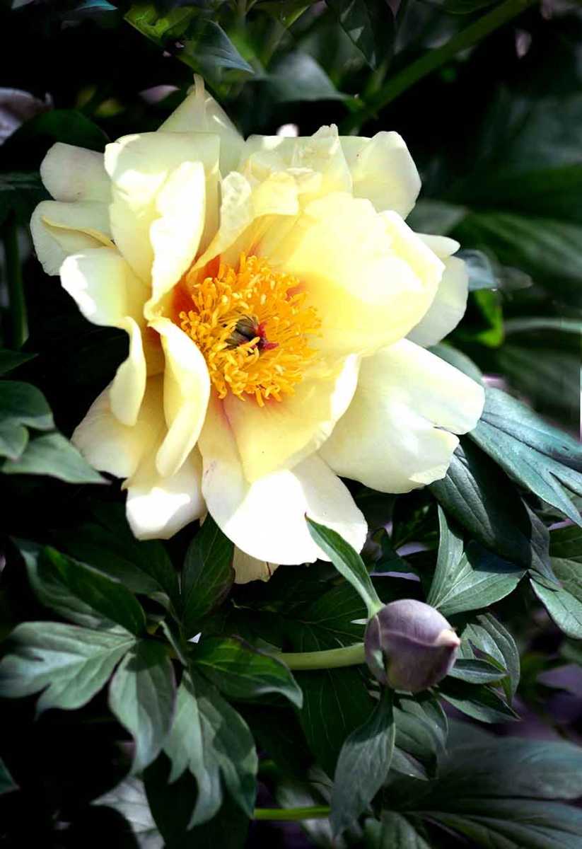 Peony (Paeonia lactifloria), Liu Fang Yuan 流芳園, The Huntington Library, Art Collections, and Botanical Gardens. Photo by Norma Lee.