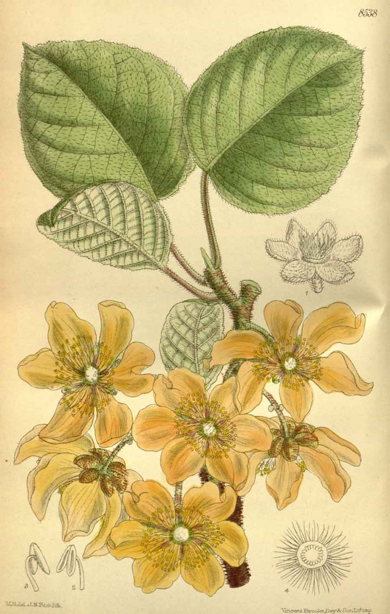 Chinese Gooseberry/Kiwifruit (Actinidia chinensis), hand-colored lithograph by Matilda Smith, Curtis's Botanical Magazine, 1914. The Huntington Library, Art Collections, and Botanical Gardens.