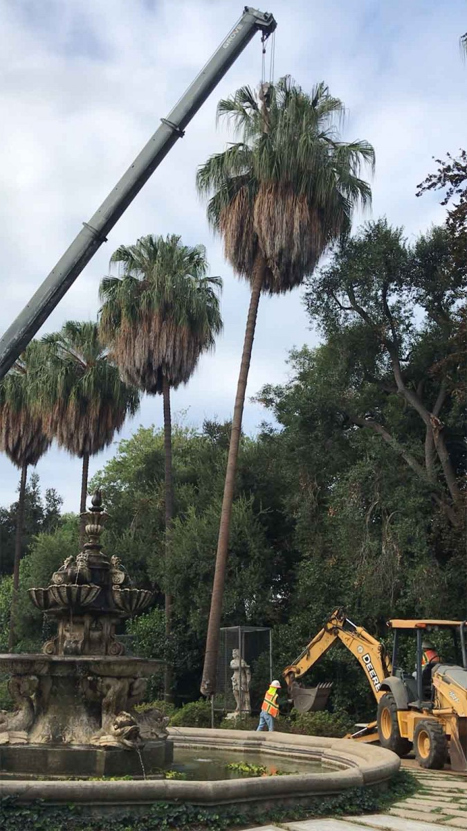 One of the 11 older, west-side palm trees that was removed by a crane and other heavy machinery in Oct. 2019. The Italian statues below the trees were protected with stainless-steel cages. Photo by Daniel Goyette.