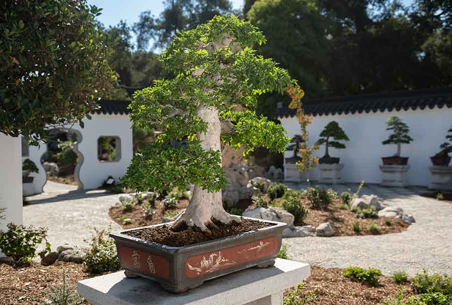 A penjing stands in the Verdant Microcosm, a new courtyard built to display a collection of the miniaturized plant landscapes in The Huntington's Chinese Garden. Photo by Jamie Pham.