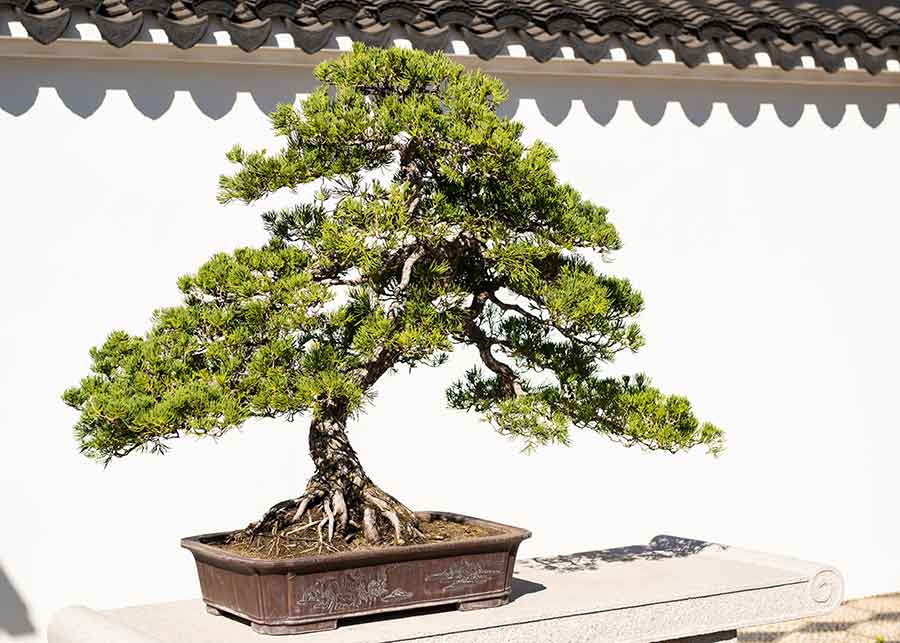 This penjing, created from a Juniper tree, includes graceful curves and turns of branches resulting from years of tending. Photo by Jamie Pham.