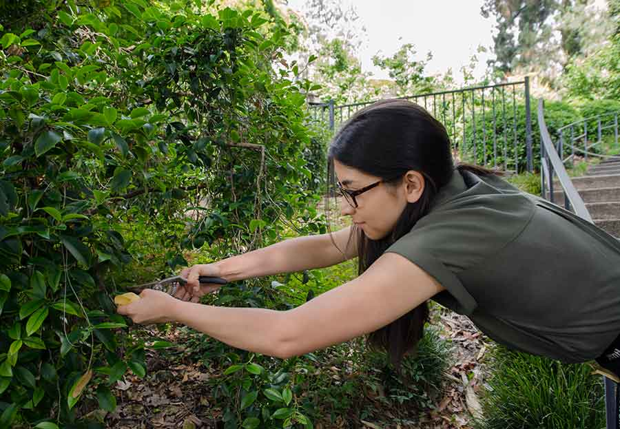 Dana Austria, a botanical intern and a junior at the University of Southern California, takes a sample of<br />     Cleyera japonica, a flowering evergreen shrub that grows in The Huntington's Japanese Garden. Photo by Lisa Blackburn.