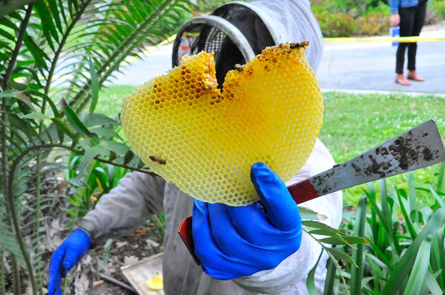 Heydman holds up a large piece of honeycomb. Photo by Andrew Mitchell.