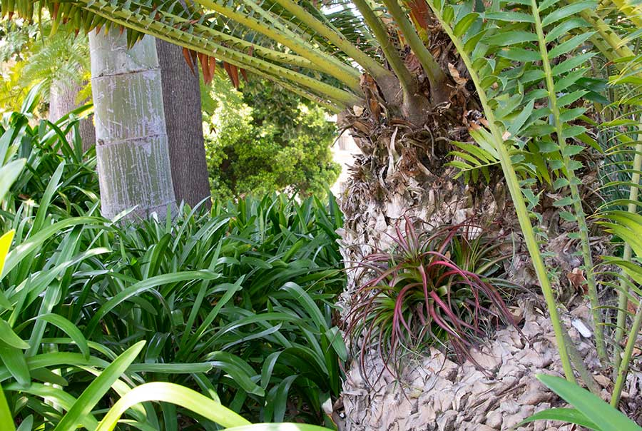 An air plant fills the hole in the cycad's trunk to keep out bees and other creatures. Photo by Deborah Miller.